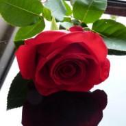 Růže a stín