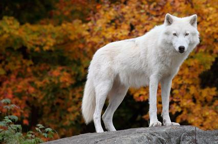 Vlk - podstata ženské divokosti